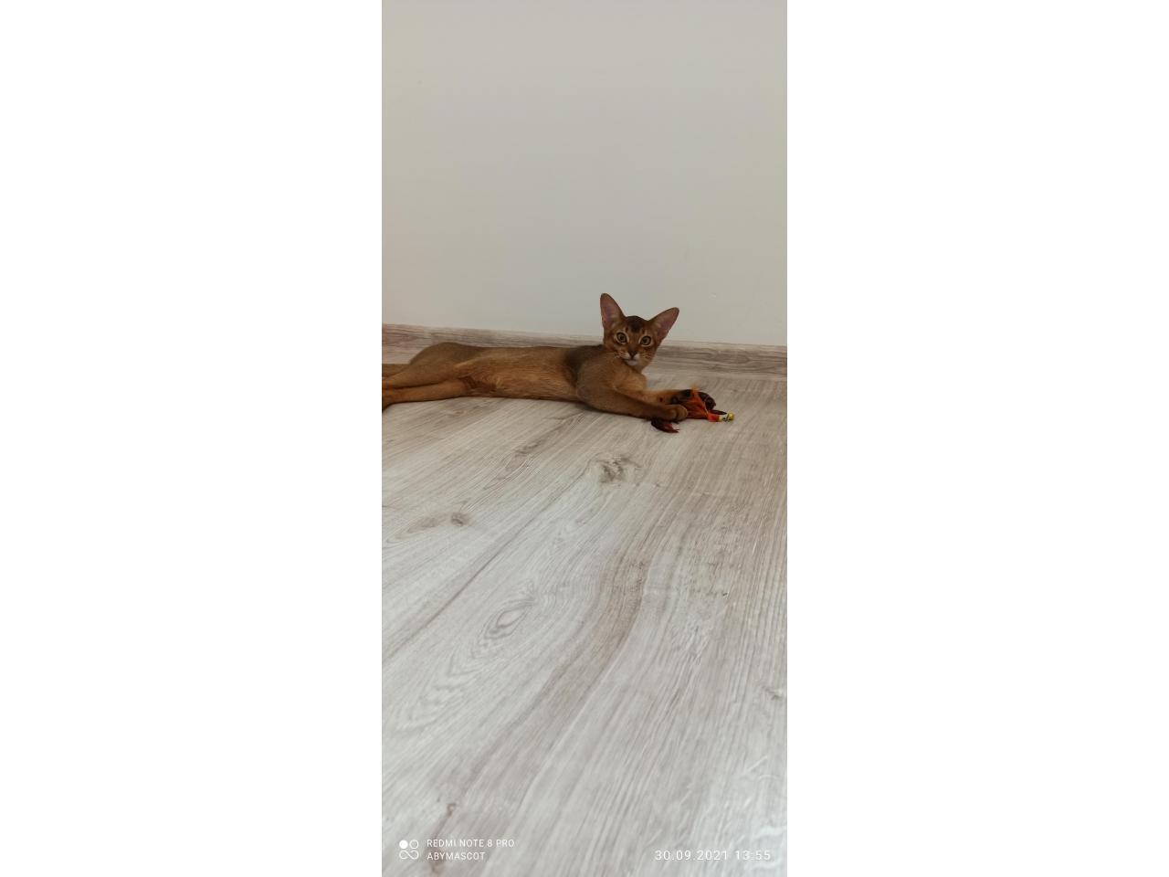 Абиссинские котята - 4