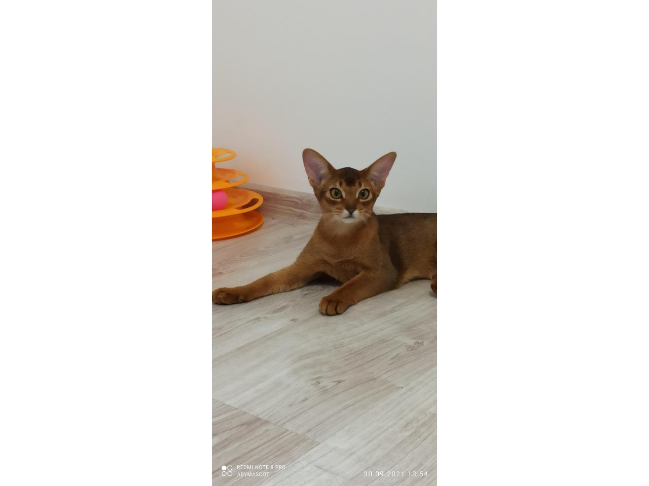 Абиссинские котята - 5