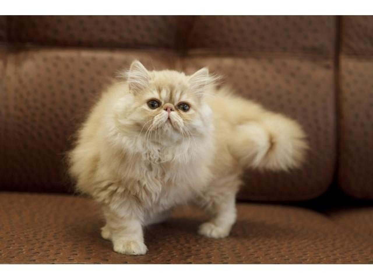 Персидские котята - 1