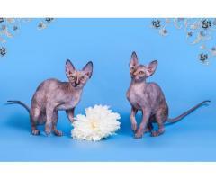"""""""Лунные"""" котята породы канадский сфинкс. - Image 2"""