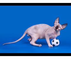 """""""Лунные"""" котята породы канадский сфинкс. - Image 3"""