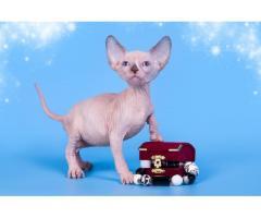 """""""Лунные"""" котята породы канадский сфинкс. - Image 4"""