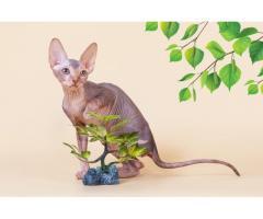 """""""Лунные"""" котята породы канадский сфинкс. - Image 5"""