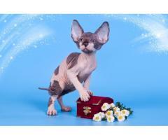 """""""Лунные"""" котята породы канадский сфинкс. - Image 6"""