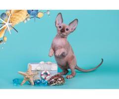 """""""Лунные"""" котята породы канадский сфинкс. - Image 7"""