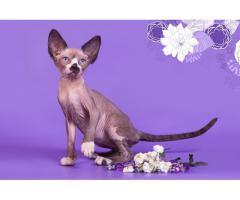 """""""Лунные"""" котята породы канадский сфинкс. - Image 9"""