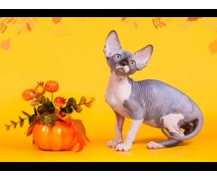 """""""Лунные"""" котята породы канадский сфинкс. - Image 10"""
