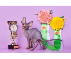 """""""Лунные"""" котята породы канадский сфинкс. - Image 11"""