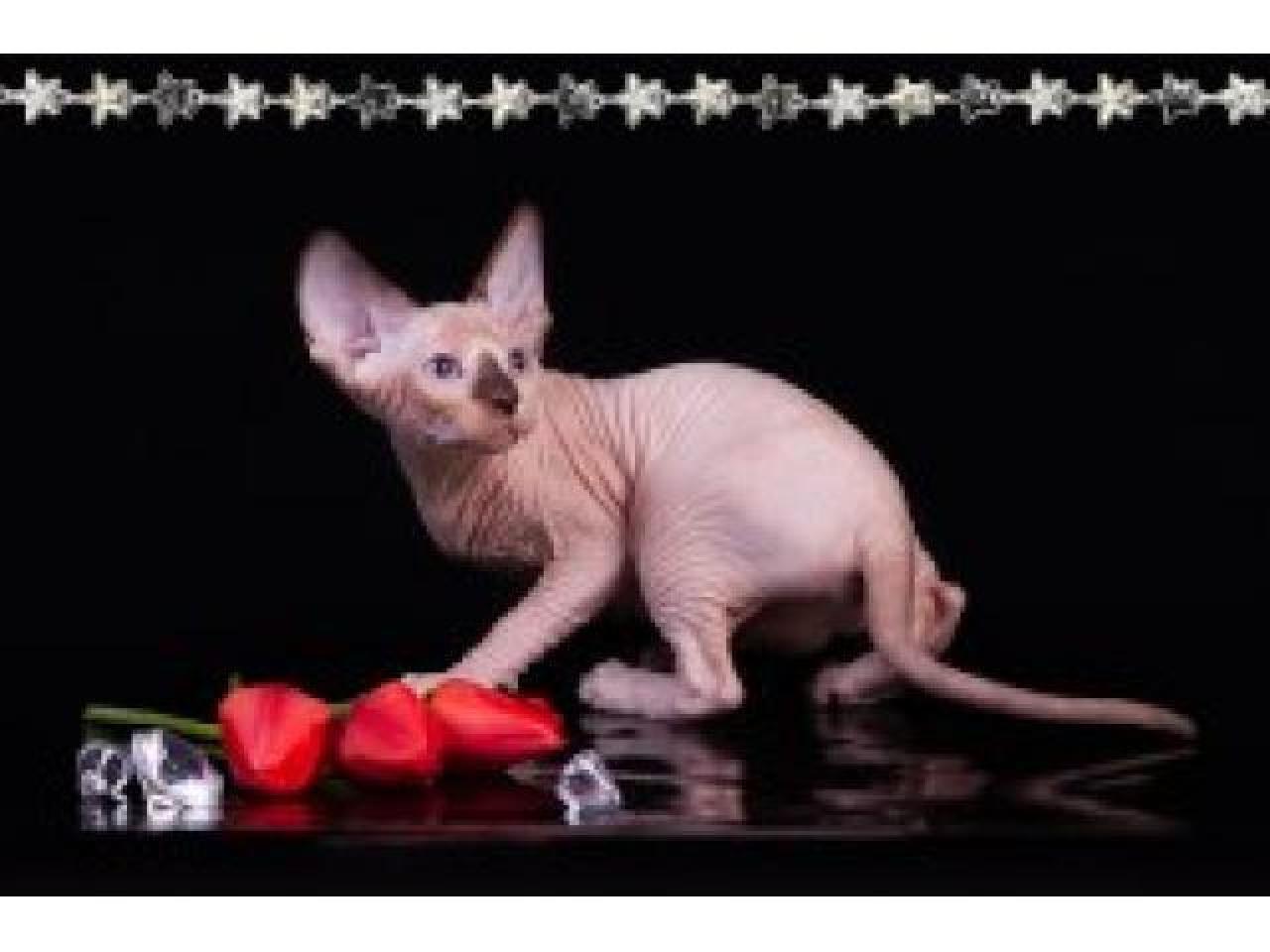Продам котят породы Канадский сфинкс. - 1