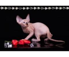 Продам котят породы Канадский сфинкс. - Image 1
