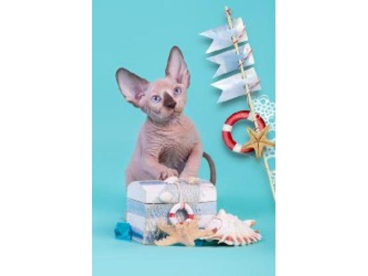Продам котят породы Канадский сфинкс. - 2