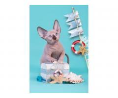 Продам котят породы Канадский сфинкс. - Image 2