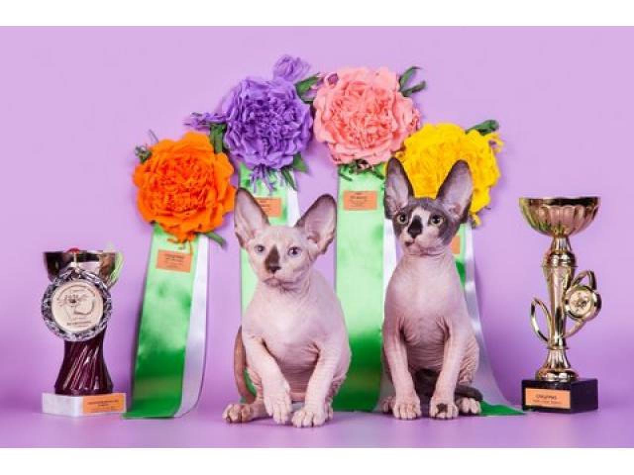 Продам котят породы Канадский сфинкс. - 3