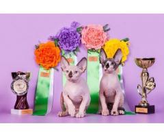 Продам котят породы Канадский сфинкс. - Image 3