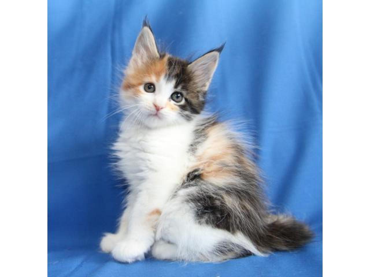 Питомник кошек породы мейн-кун Apogeya BY предлагает очаровательную девочку - 1
