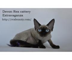 Девон рекс котята из профессионального питомника - Image 1