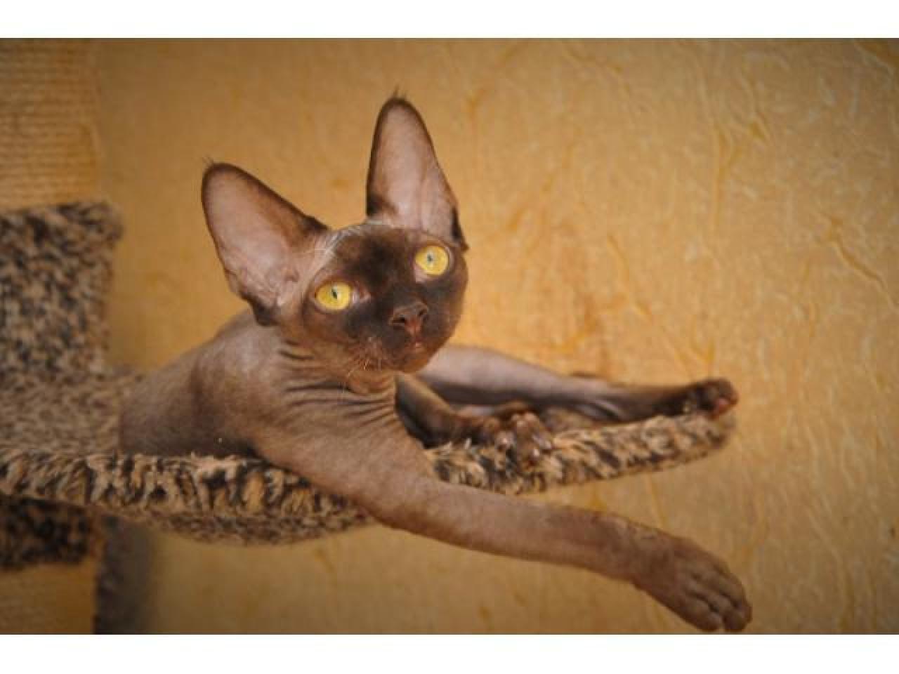 Девон рекс котята из профессионального питомника - 2