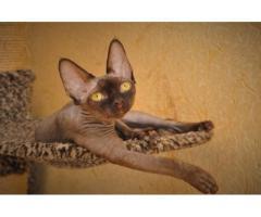 Девон рекс котята из профессионального питомника - Image 2