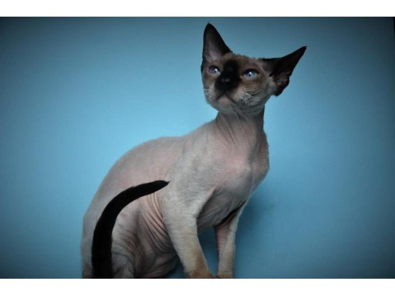 Девон рекс котята из профессионального питомника - 3