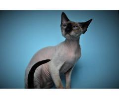 Девон рекс котята из профессионального питомника - Image 3