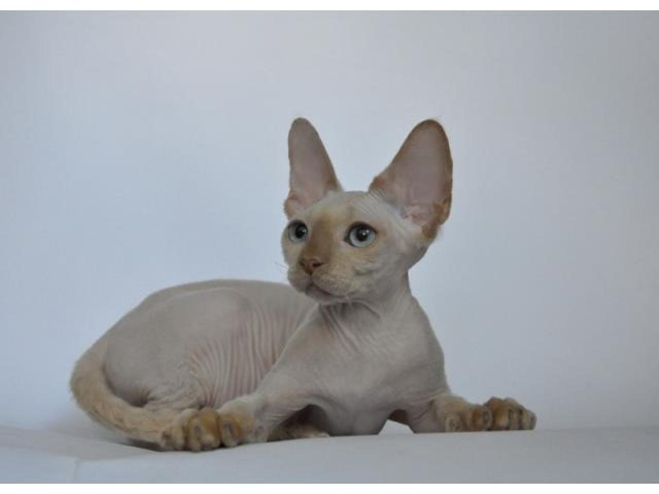 Девон рекс котята из профессионального питомника - 4