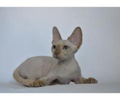 Девон рекс котята из профессионального питомника - Image 4