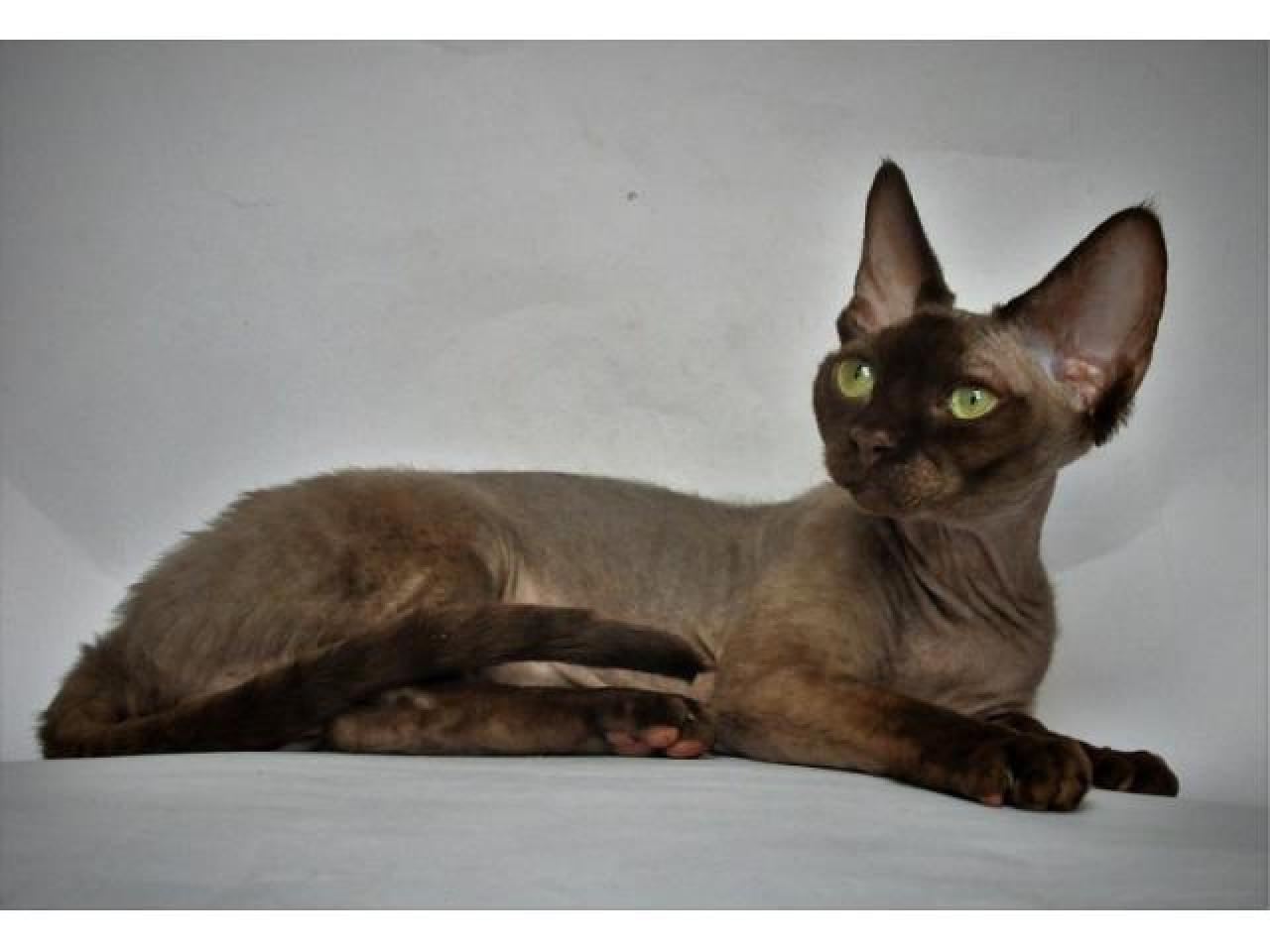 Девон рекс котята из профессионального питомника - 5