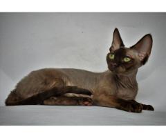 Девон рекс котята из профессионального питомника - Image 5