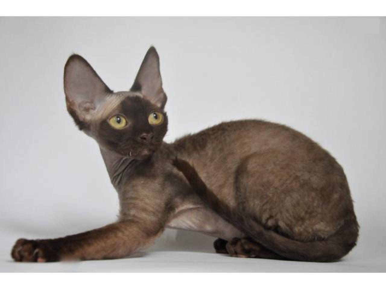 Девон рекс котята из профессионального питомника - 6