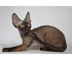 Девон рекс котята из профессионального питомника - Image 6