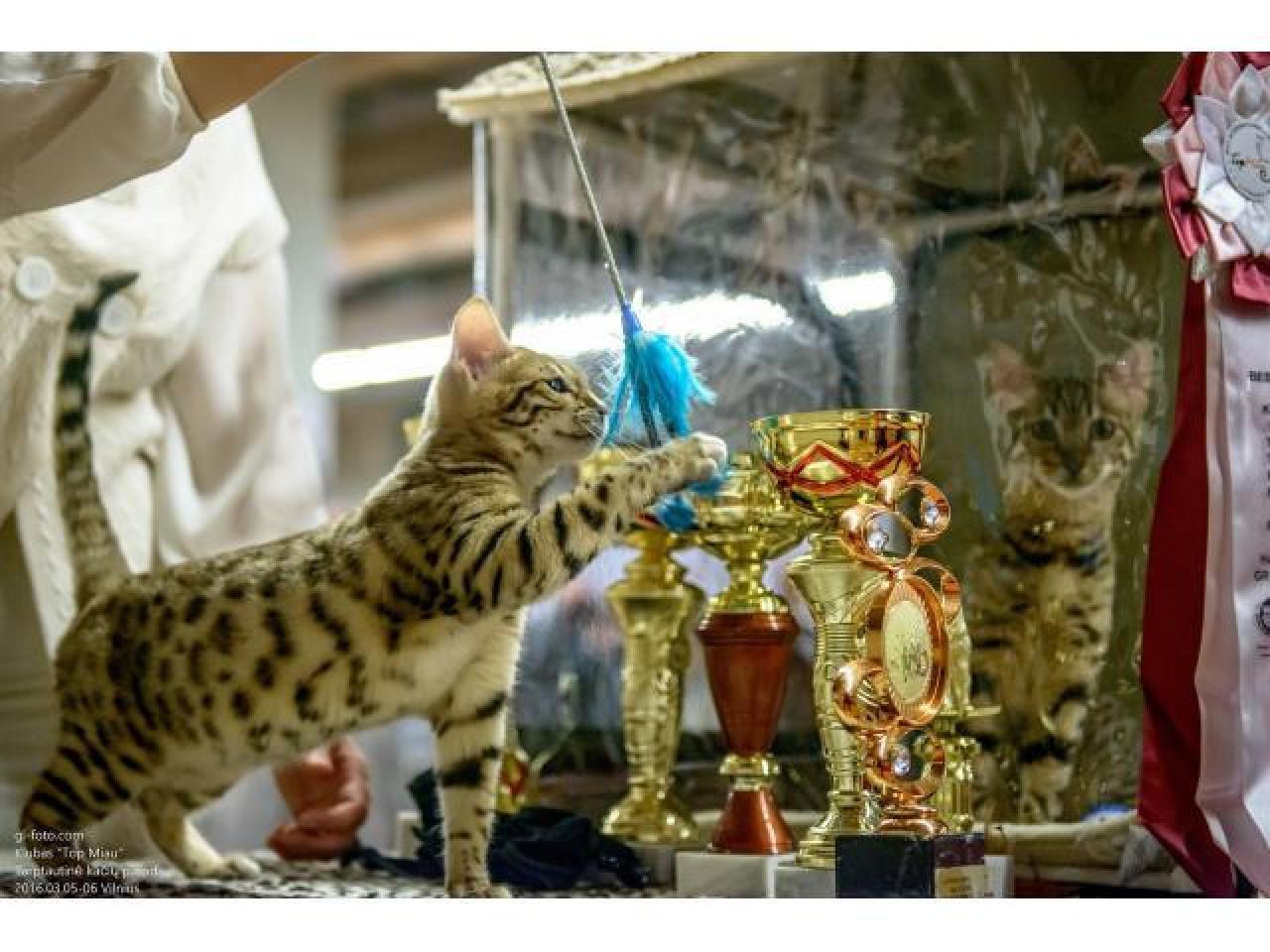 Официальный питомник продаёт бенгальских котят - 1