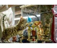 Официальный питомник продаёт бенгальских котят