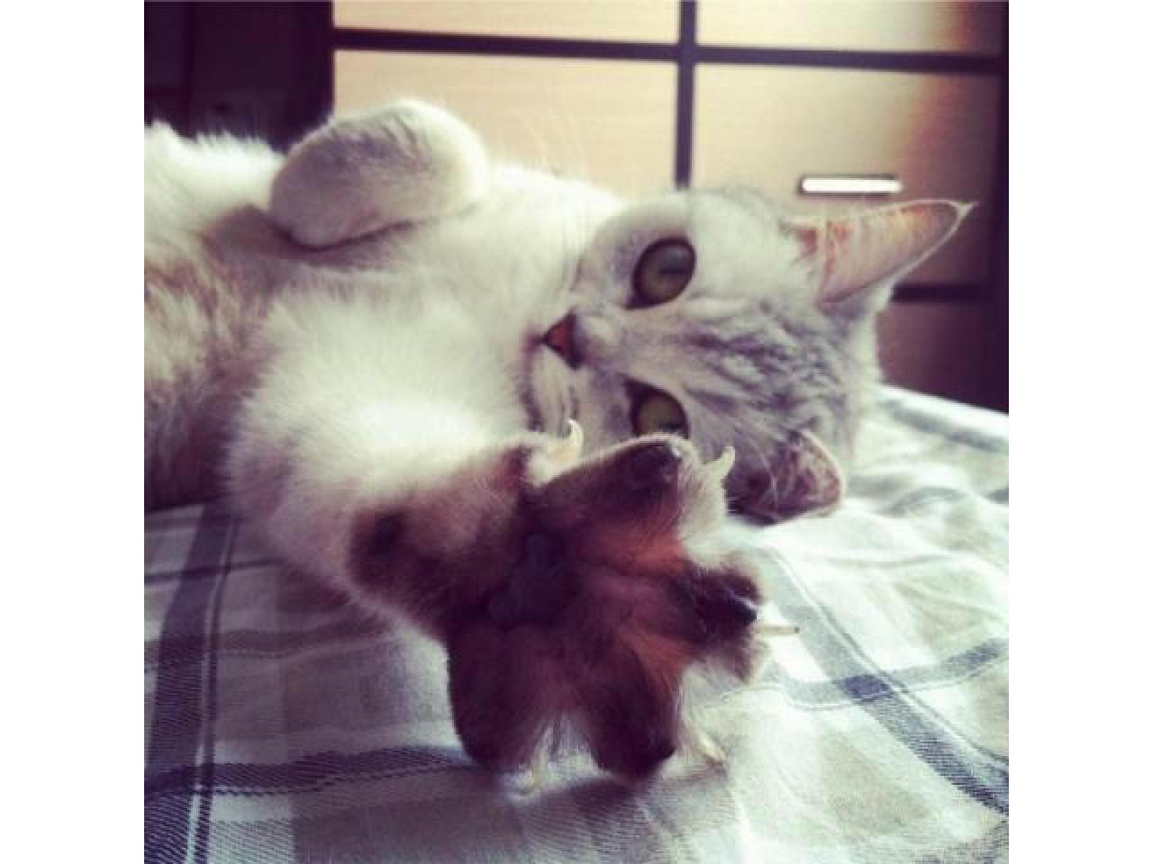 БРИТАНОЧКА ищет кота для связки ! - 1