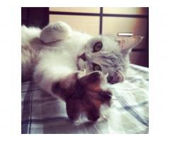 БРИТАНОЧКА ищет кота для связки !