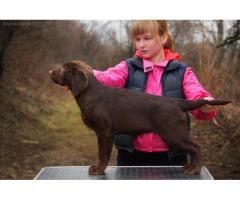 Шоколадные девочки Лабрадора с родословной - Image 6