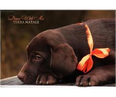 Шоколадные девочки Лабрадора с родословной - Image 7