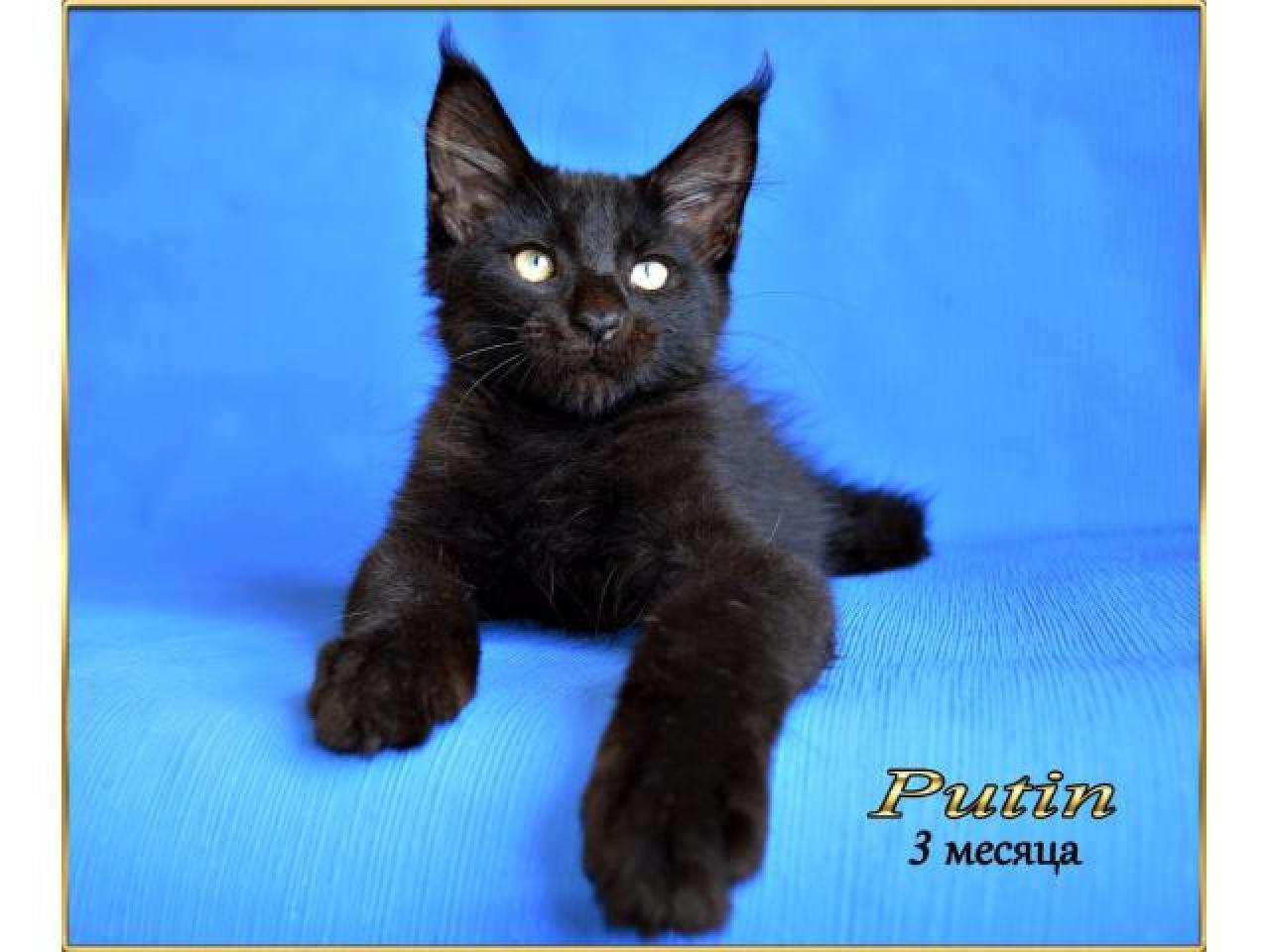 Мейн кун котята - 1