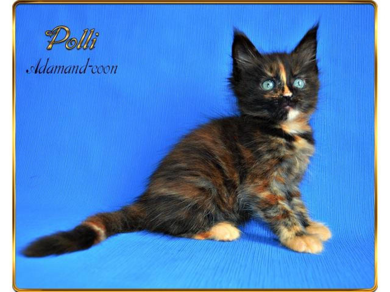 Мейн кун котята - 2