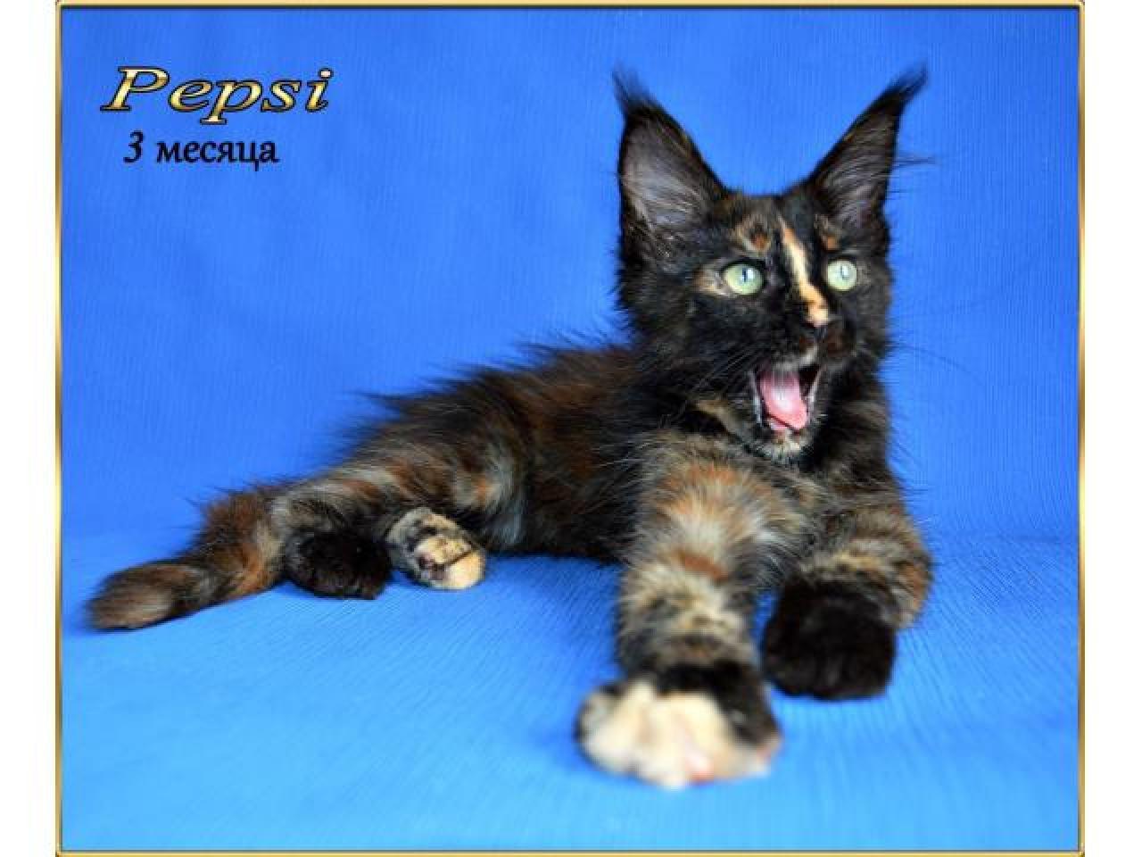 Мейн кун котята - 3