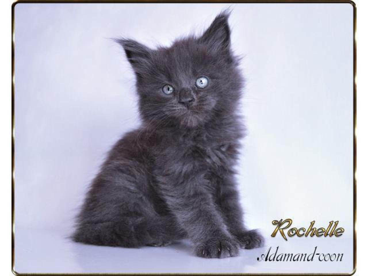 Мейн кун котята - 4