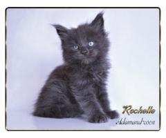 Мейн кун котята - Image 4