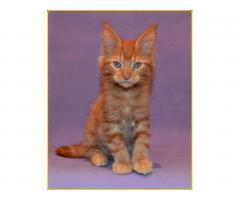 Мейн-кун котята из СССР.