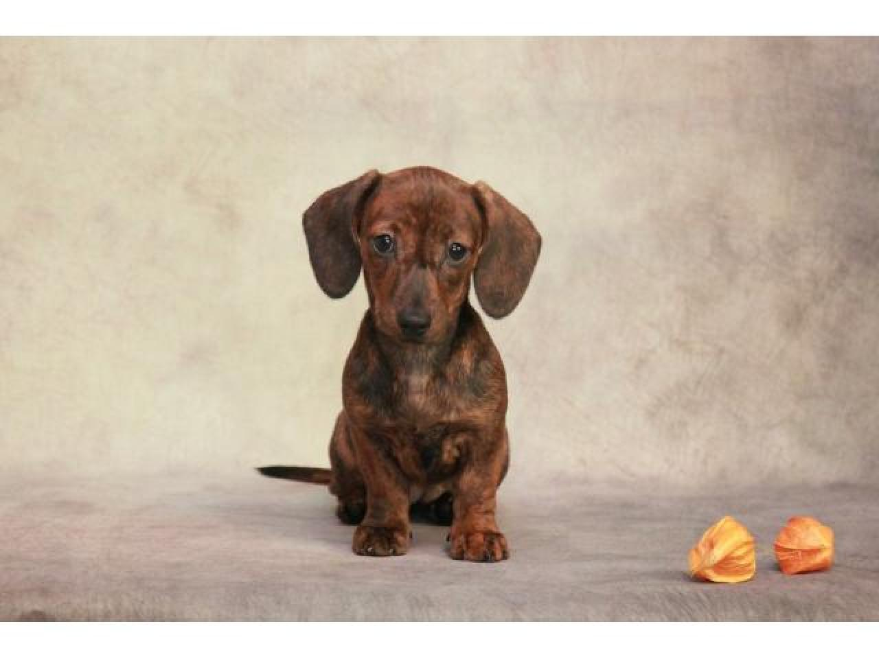Предлагаем щенка миниатюрной (карликовой) гладкошерстной таксы. - 2