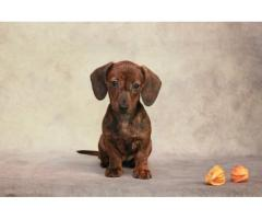 Предлагаем щенка миниатюрной (карликовой) гладкошерстной таксы.