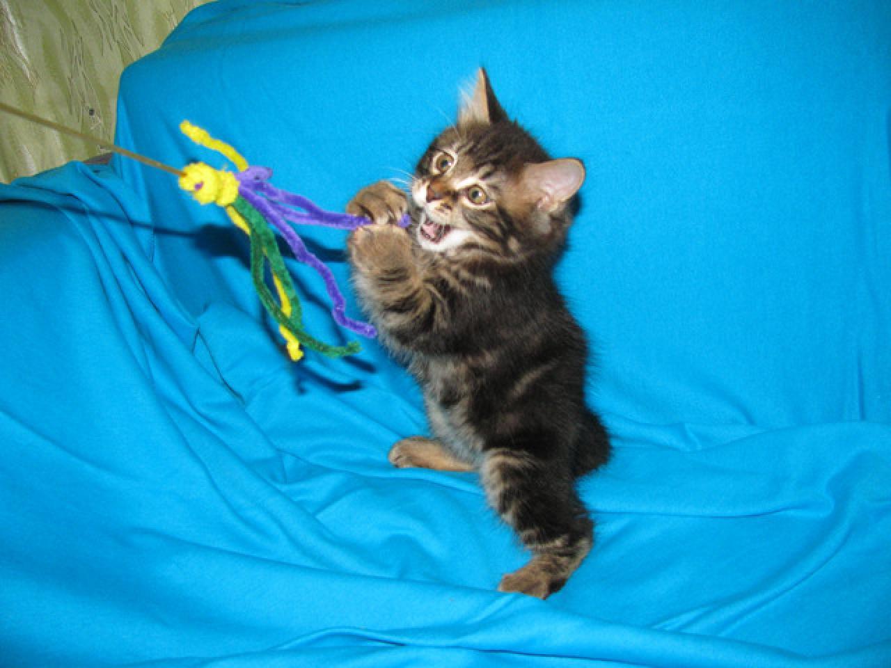 Продаются котята курильского бобтейла - 2