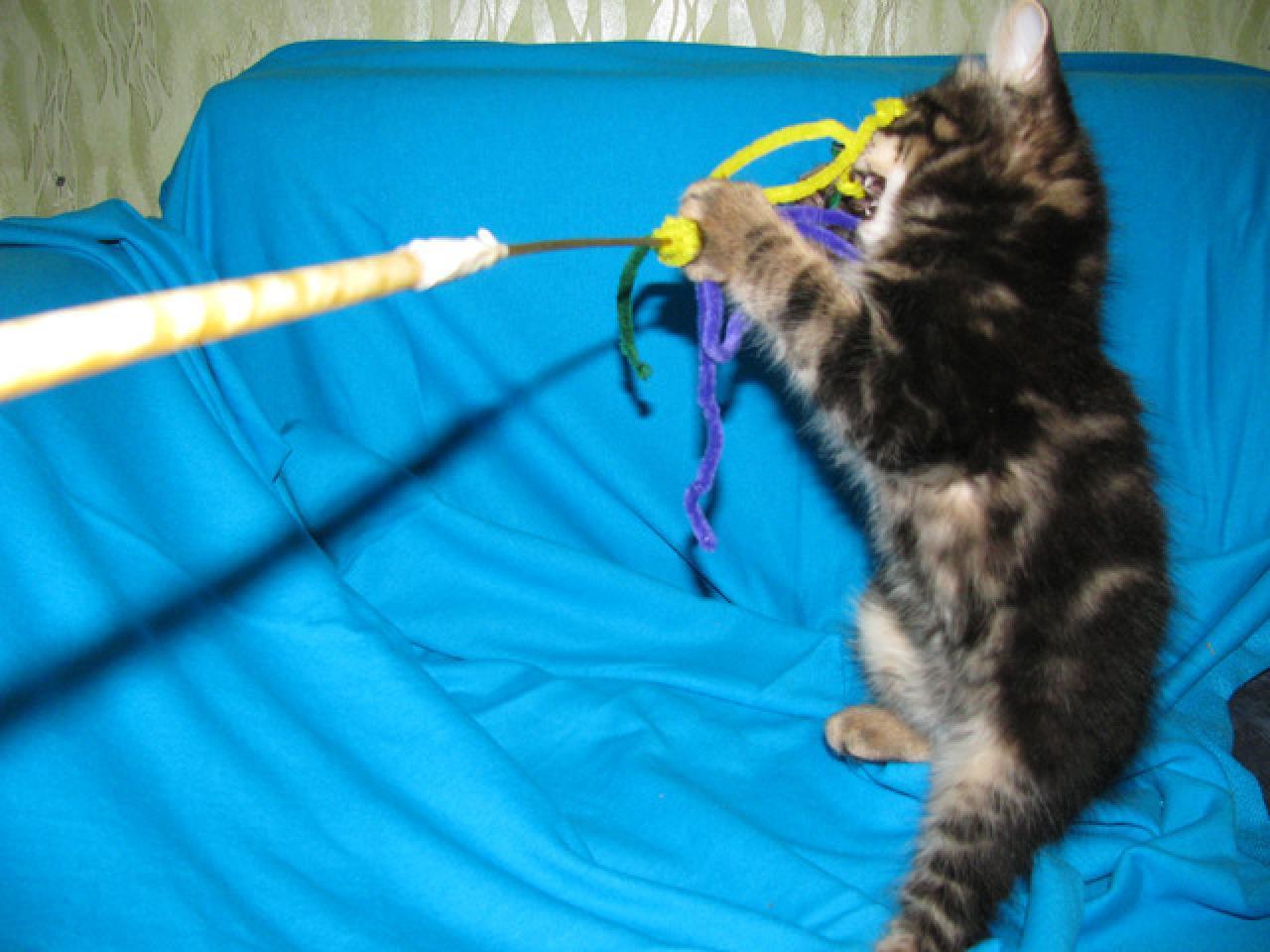 Продаются котята курильского бобтейла - 3