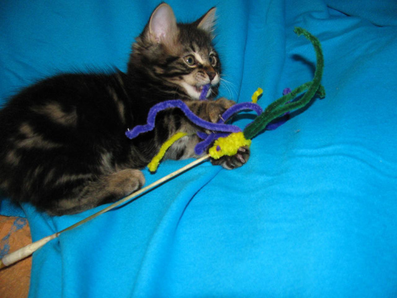 Продаются котята курильского бобтейла - 4