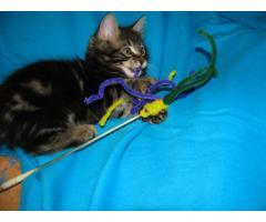 Продаются котята курильского бобтейла - Image 4