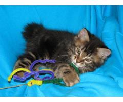 Продаются котята курильского бобтейла - Image 5