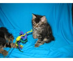 Продаются котята курильского бобтейла - Image 6